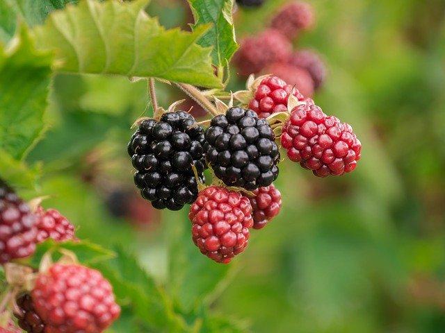 berry-3513546_640