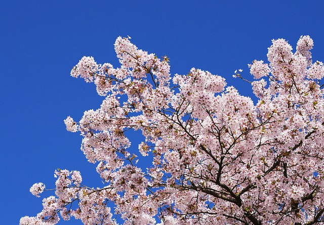 cherry-blossoms-3307106_640