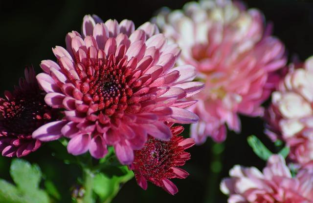 chrysanthemum-4583881_640