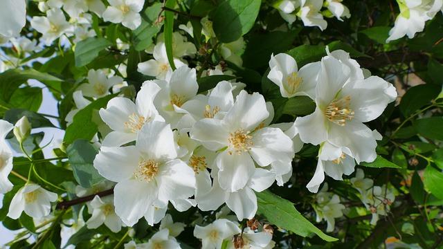 jasmine-4258882_640