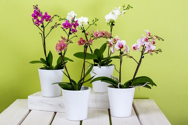 orchids-595242_640