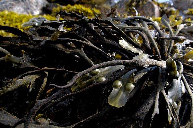 seaweed-991706_640